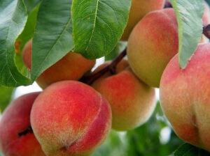 peach nutrition facts   peach health benefits